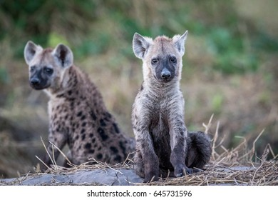 Two young Spotted hyenas sitting down in the Chobe National Park, Botswana.