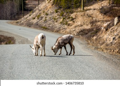 Two young Stone Sheep or Dall Sheep lick mineral deposits from the Cassiar Highway near the Alaska Highway Junction in the Yukon, Canada.