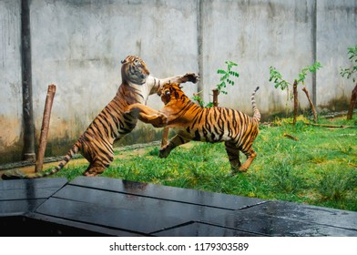 two young tigers playfully fight, Thailand, Koh Samui