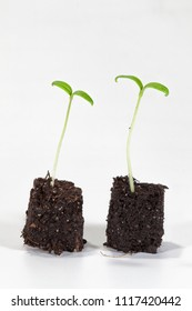 Two young tomato seedlings in brown soil in front of a white background
