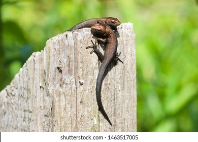 Two young viviparous lizards on a wooden post. Wildlife reptiles