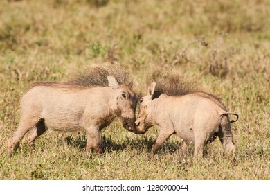 Two young warthogs playing and wrestling in short dry grass