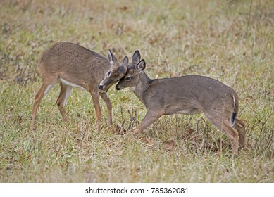 Two young White Tailed Deer bucks learning how to fight.