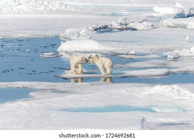 Two young wild polar bear cubs playing on pack ice in Arctic sea, north of Svalbard - Shutterstock ID 1724692681