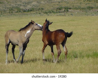 Two young yearlings playing in a field.