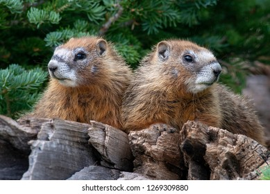 Two young Yellow-bellied Marmots on a dead tree at Cedar Breaks National Monument in southern Utah.