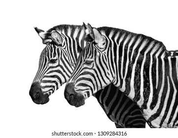 Two young zebras isolated on white. Safari animals. Zebras portrait close up. Black and white photo.