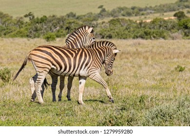 Two young zebras playing by biting and bucking each other in a national park