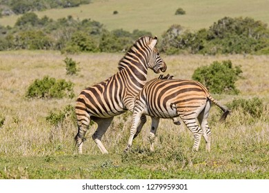 Two young zebras playing by biting and kicking each other in a national park
