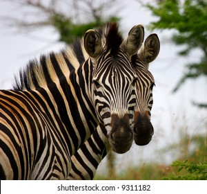 Two zebra brothers standing together looking at camera