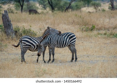 Two Zebra, one with head on the other zebra as the other zebra has head down towards dry grass. Standing against blurred background