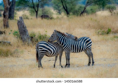 Two Zebra, one resting its head on the back of the other zebra against blurred dry grass and green shrubs