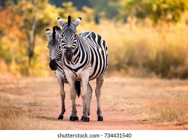 Two zebra standing on a dust path in the woodlands of Swaziland
