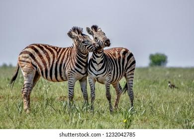 Two zebra wresting each other.  Looks like a friendly game