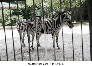 two zebras are behind the fence in the zoo, wild animals content in captivity