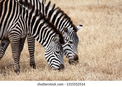 Two zebras are drinking water in a shallow river, Serengeti National Park, Africa