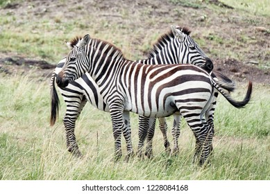 Two zebras each standing head to tail in the Masai Mara, Kenya with a third almost invisible zebra standing behind.  The only clue to it being there are the extra legs and the third tail
