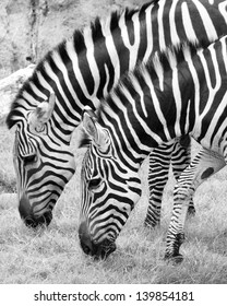 Two zebras eating grass in a zoo.