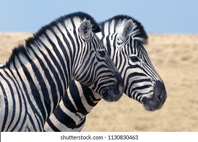 Two zebras head in Etosha national park Namibia safari close up
