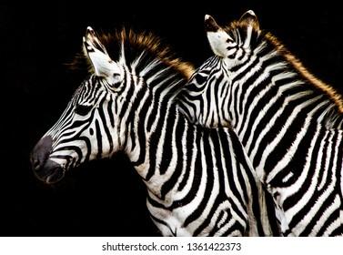 Two Zebras huddled together against a black background
