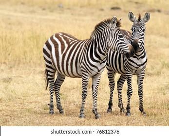 Two zebras on the Masai Mara National Reserve safari in southwestern Kenya.