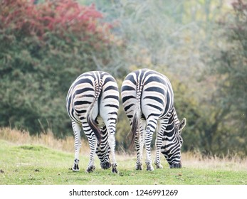 Two zebras photographed from behind at Port Lympne Safari Park, Ashford Kent UK. The Kent countryside in autumn can be seen in the background.
