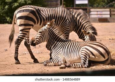 Two zebras in a plain.