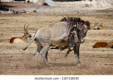 Two zebras play together in a sandy area. In the background are gazelles