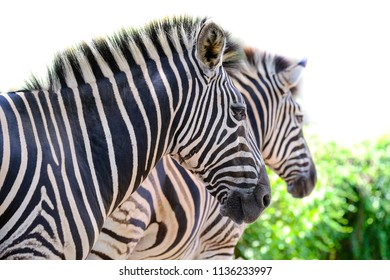 Two zebras playing with each other, South Africa.