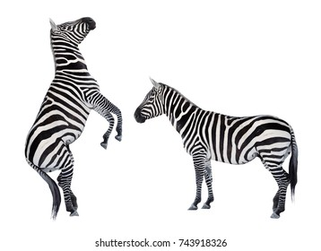 Two zebras playing. Funny animals isolated on white background.
