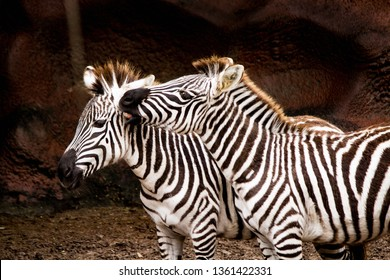 Two Zebras snuggling in a rocky enclosure at the Gladys Porter Zoo, Brownsville, Texas