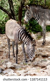Two zebras stand in the shadow of a tree. The soil is the rocky