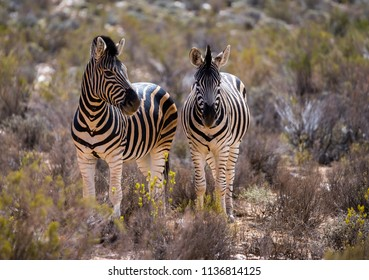 Two Zebras standing next to each other