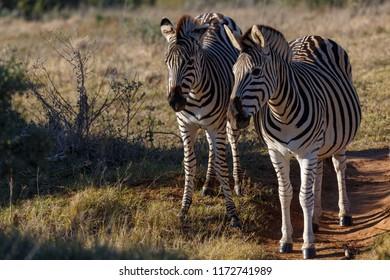 Two Zebras standing side by side in the field