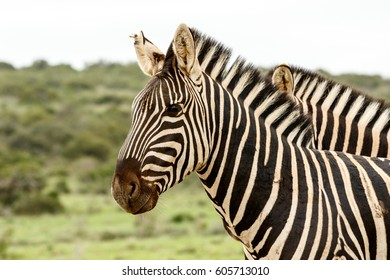 Two Zebras standing together in the field.