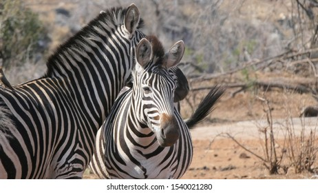 Two zebras swishing tails in Kruger