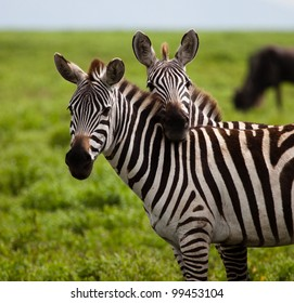 Two Zebras in a Touching Pose on the Serengeti Tanzania Africa