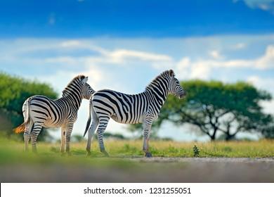 Two zebras in wild Africa. Zebra with blue storm sky. Burchell's zebra, Equus quagga burchellii, Nxai Pan National Park, Botswana, Africa. Wild animal on the green meadow. Wildlife nature.