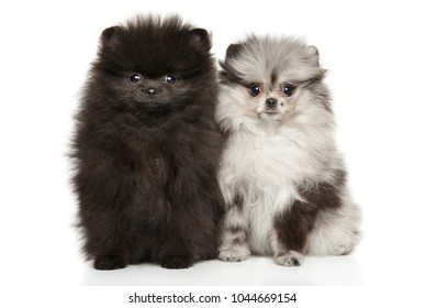 Two Zwerg Spitz puppies on white background. Baby animal theme