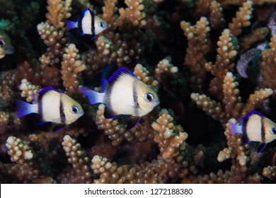 Twobar Humbug - Indian Dascyllus (Dascyllus Carneus) fishes hiding in the coral on the reef. A small, rounded, light colored body with two dark stripes and blue fins.