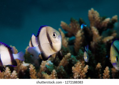 A Twobar Humbug - Indian Dascyllus (Dascyllus Carneus) fish hiding in the coral on the reef. A small, rounded, light colored body with two dark stripes and blue fins.