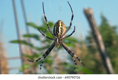 Two-color, yellow-black, dangerous spider on its stretched web against the backdrop of the natural beautiful green environment