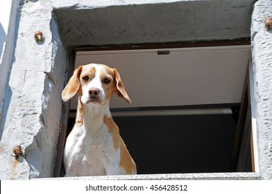 Twocolored beagle looks down from an old stone windowframe