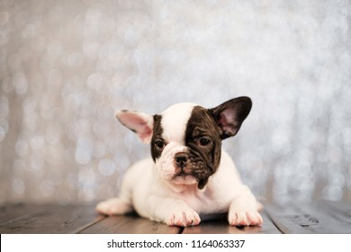 Two-colored dog puppy of French bulldog lies on floor of boards close-up. Abstract blurred background with sparkles.