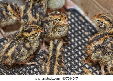 Two-day baby birds of the Japanese quail