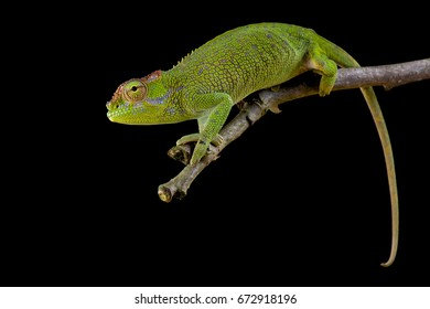 Two-horned Chameleon, Kinyongia boehmei, female