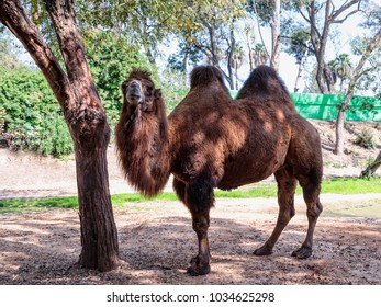 A two-humped camel stands on the ground in the shade of a tree on a sunny day