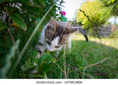 Two-month kitty on the first walk in the garden - European cat sniffs among grass and vegetation