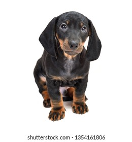 Two-month smooth black and tan dachshund puppies on white background