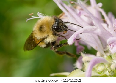 Two-spotted Bumble Bee collecting nectar from a wild Bergamot flower. Todmorden Mills Park, Toronto, Ontario, Canada.